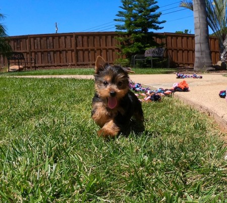 Pure Breed...Tiny Yorkie Puppies For Sale