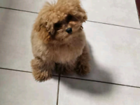 5 months old teecup poodle ready to go.