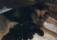 Pedigree German Shepherd pups