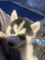 7 Beautiful Husky Puppies Looking for Forever Home