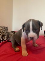 American Bulldog Puppies ready for rehoming!!