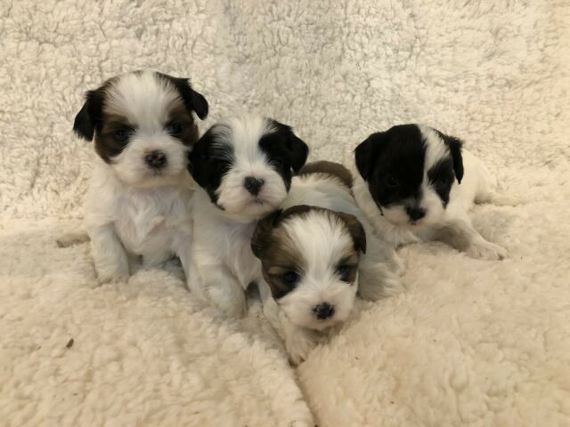 Adorable, Loving Shi-Poo Puppies - Only 4 Left!