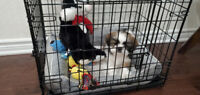 tri color male shih tzu puppy for re homing