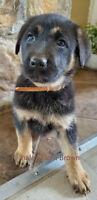 6 Beautiful German Shepherd/Lab x Puppies