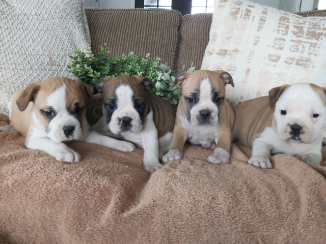 Gorgeous Mini Bulldog puppies