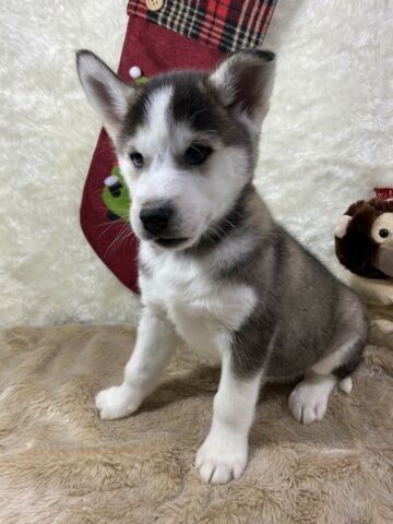 Stunning Husky Puppies