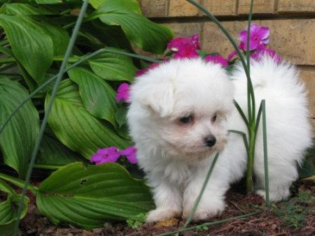 Registered Maltese Puppies available