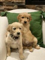 Gorgeous Golden Doodle Puppies!