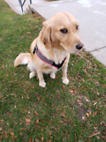 Amazing female golden retriever looking for her forever home