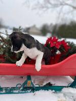 Boston terrier Jack russell