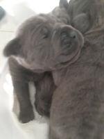 Blue Female Cane Corso  Puppy Hoiday Raffle .  10 days old