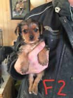 3 Adorable Minature Yorkie Puppies