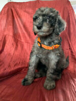 Standard Poodle puppies~ Merle, Apricot, Red
