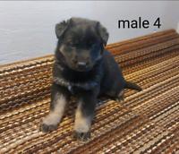 German shepherd and Siberian husky mix puppies