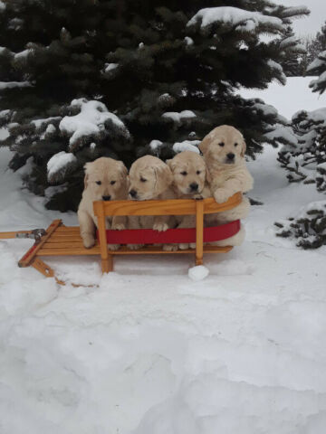 Golden Retriever Puppies