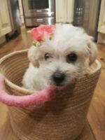 Poodle mix puppies