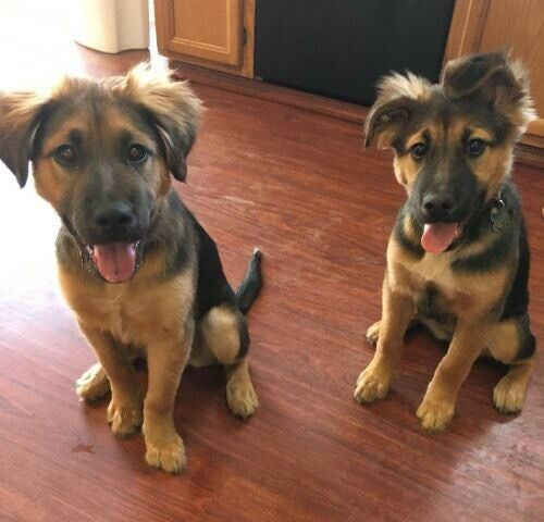 Wanted:                             Looking for a shepherd puppy