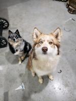(F1 pomsky- dad) x (Malamute x -mom) puppies due 1st week feb