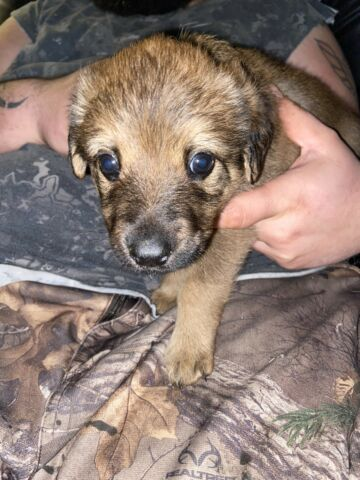German shepherd X Rotweiler Puppies