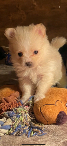 Pomchi puppies