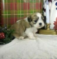 Malshi (Maltese x Shih Tzu) Puppies available 1 male left!