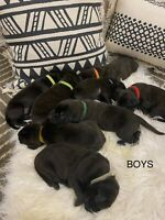 CANE CORSO/ENGLISH MASTIFF PUPPIES