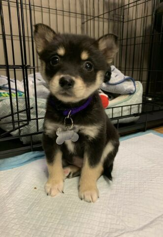 8 week old Pomsky puppy for adoption