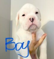 QUALITY  PUREBRED BOXER PUPPIES