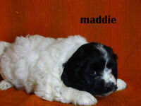 1st Generation Cockapoo puppies available  for adoption