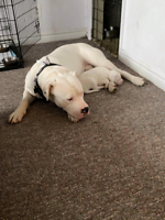 Doggo argentino in need of a house and space!