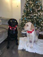 Labrador puppy for sale- 1 female left