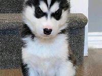Siberian Husky Puppies (4 LEFT)