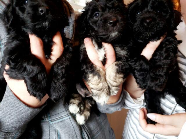 Havenese puppies