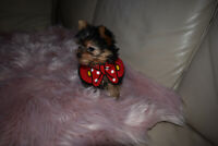 Baby Doll Yorkies Tea cup sized Pure Bred