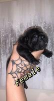 French bulldog puppy's