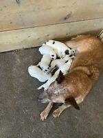 COWBOY CORGI PUPS! (Corgi X heeler)