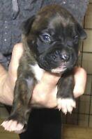 Purebred boxer pups for sale