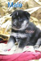 German Shepherd husky puppies