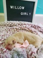 Golden Retriever / Husky