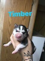 4 LEFT! Purebred Siberian Husky pups