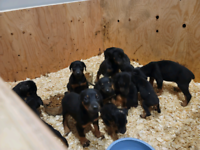 PUREBRED DOBERMAN DOG PUPPIES LOOKING 4 FOREVER LOVING HOME