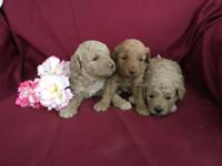 Moyen (Klein) Poodle Puppies