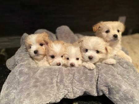 Maltipom Puppies