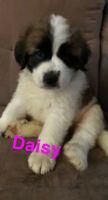 St. Bernard/Leonberger Puppies for Sale