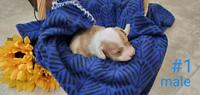 Bichon/Poodle