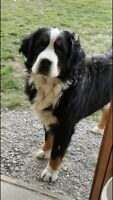 Adorable Purebred Bernese Mountain Pups
