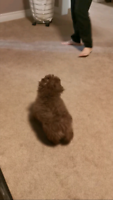 5 months old teacup poodle puppy