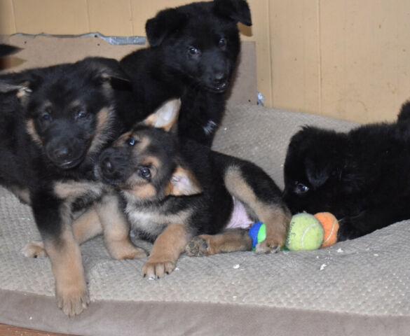 ❤️Healthy  Purebred flat backed German Shepherd Puppies ❤️