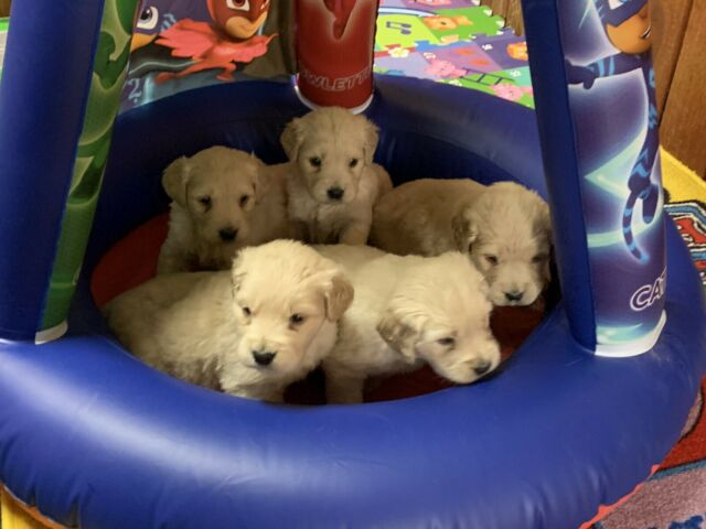 Purebred golden retriever puppies for sale ( ALL RECEIVED)