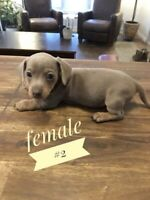 Adorable iniature Dachshund puppies  $3500 ready to go March 3rd